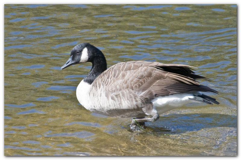 Canada Goose IV