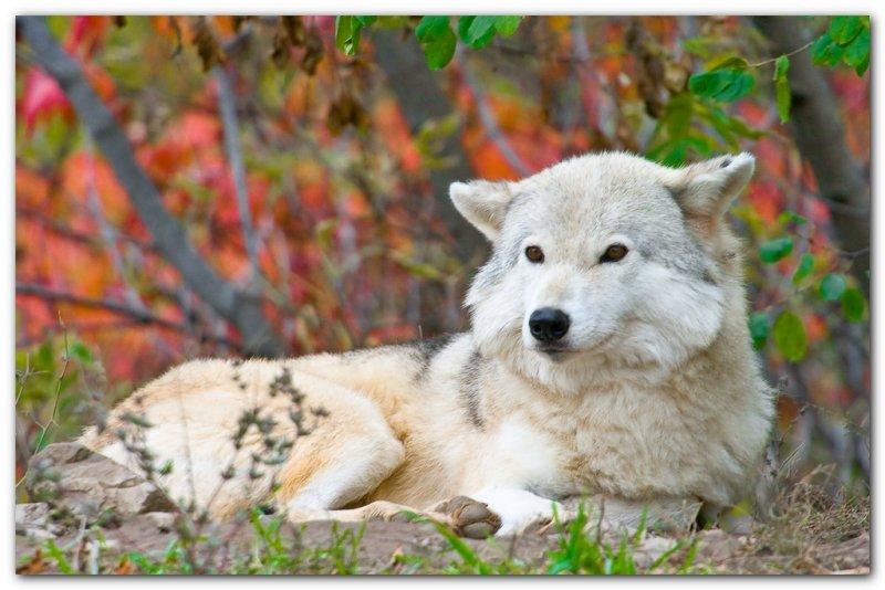 Wolf X
