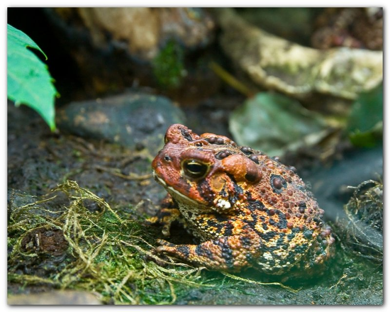 American Toad I