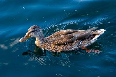 The Duck III