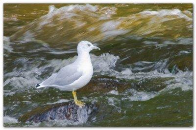 Seagull In Rapids