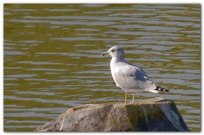 Seagull On A Rock III