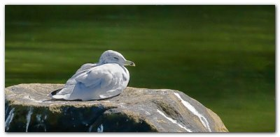 Seagull On A Rock II