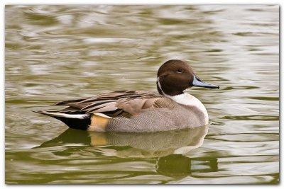 Duck IV