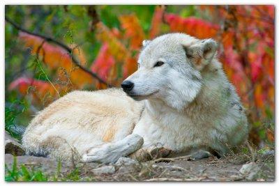Wolf VI