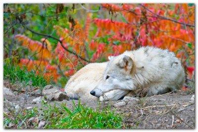 Wolf IX