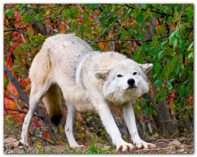 Wolf Stretching II
