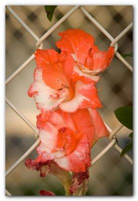 Gladiolus (past its prime)
