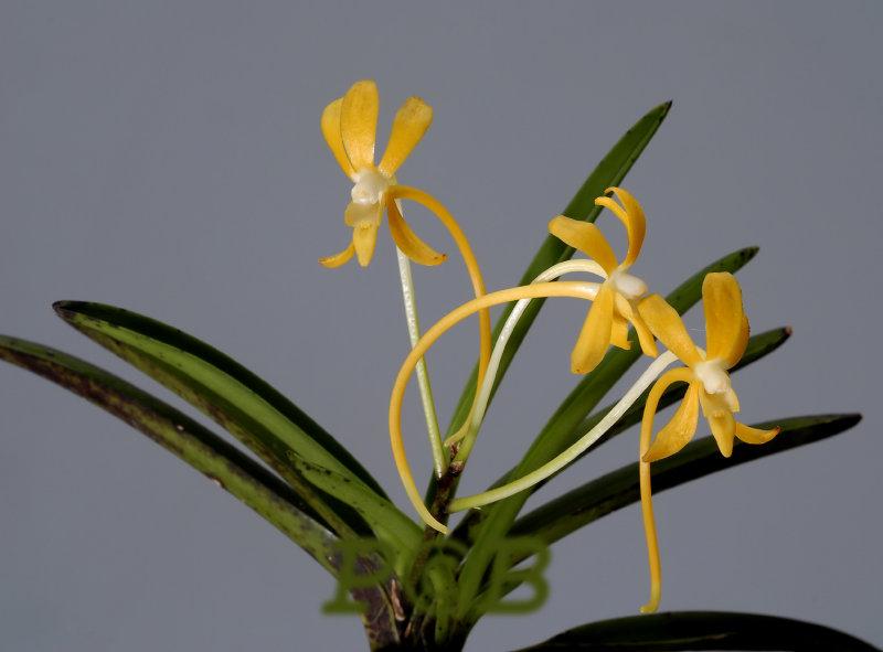 Neofinetia falcata, yellow