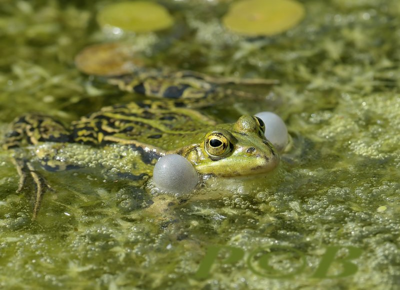 Kwakende gr. kikker, de kwaakblazen van de poelkikker zijn wit, die van de meerkikker zwart