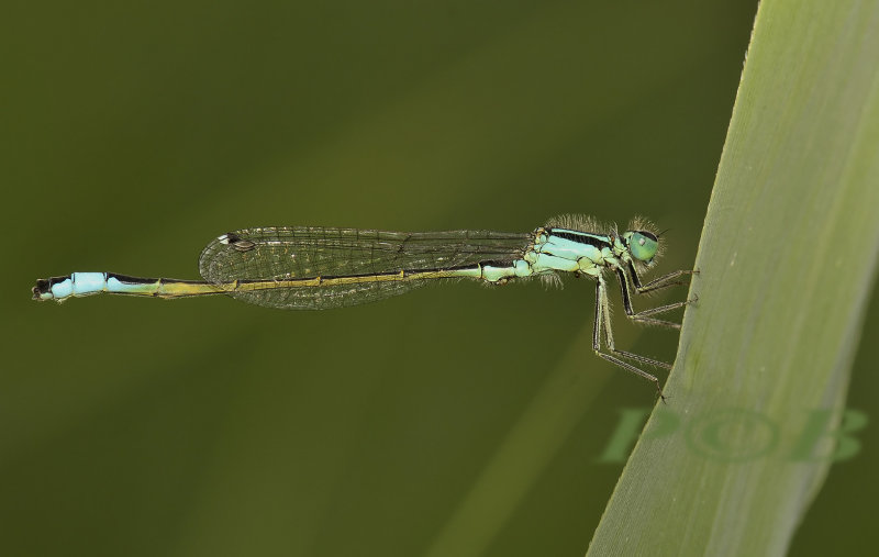 Lantaarnje man, Ischnura elegans