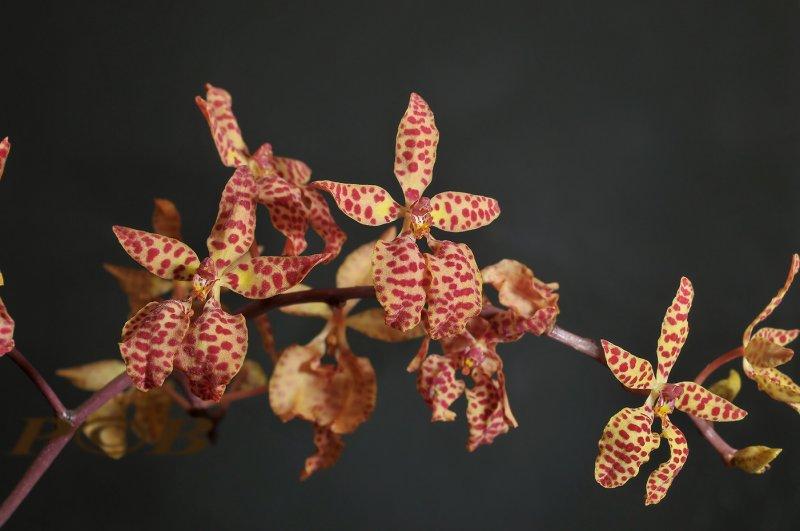 Ranthera imschootiana