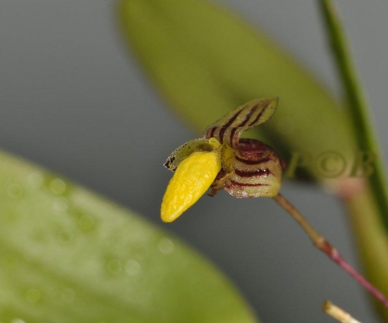 Bulbophyllum sp. flower 7 mm