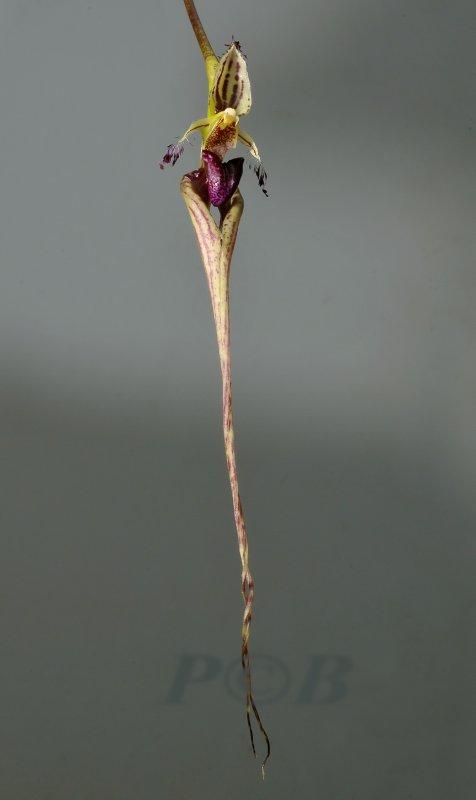 Bulbophyllum putidum, 15 cm