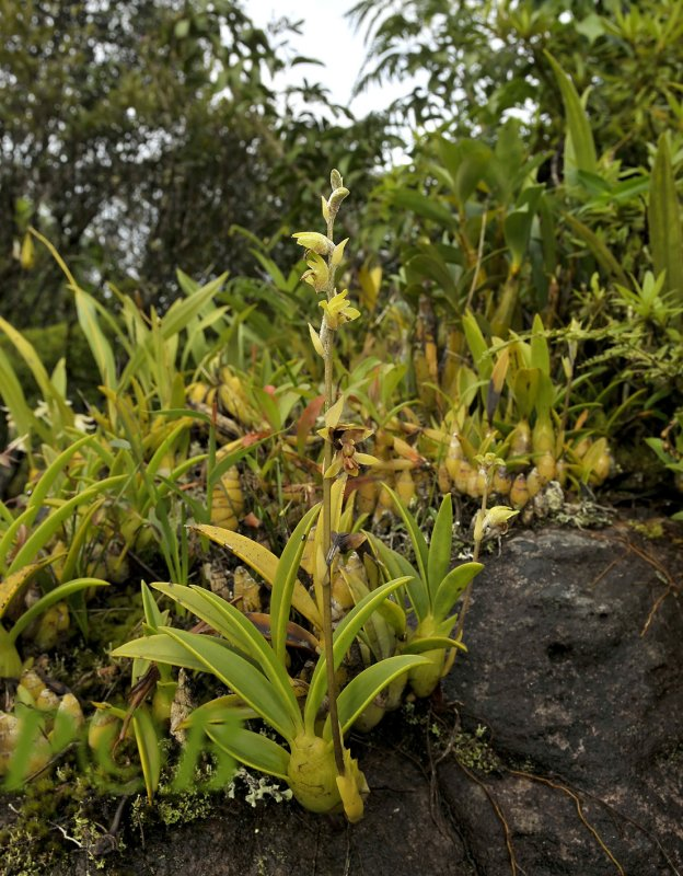 Rock with Dendrobium, coelogyne and Eria orchids