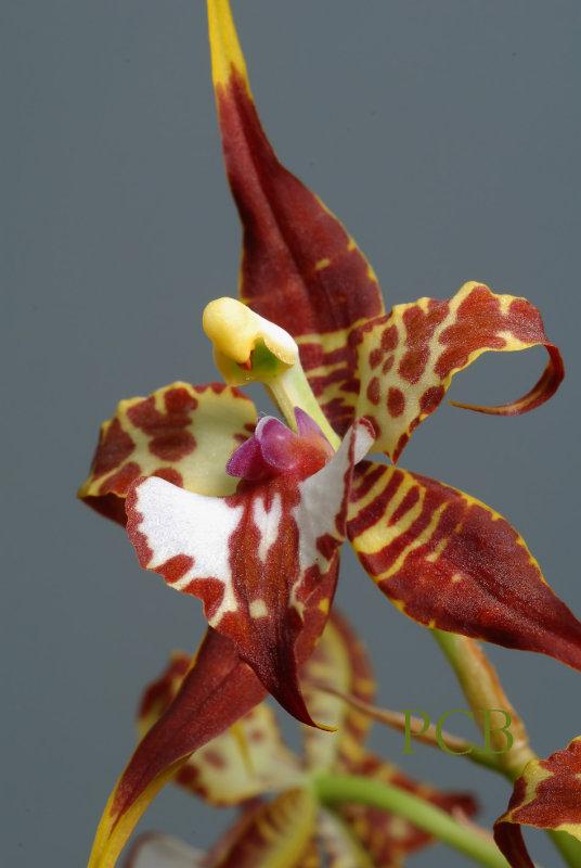 Odontoglossum cordatum, close