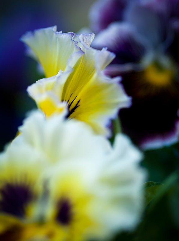 White Yellow Purple Pansies