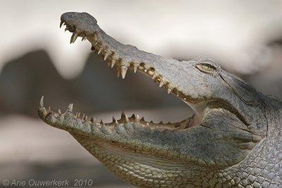 Nile Crocodile - Nijlkrokodil - Crocodylus niloticus