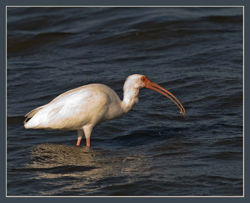 white ibis with a stone crab claw in its beak