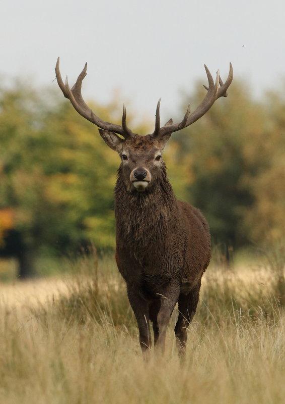 Red Deer Tatton Park,Cheshire