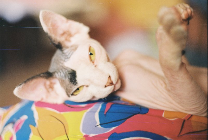 Sphynx cat sise