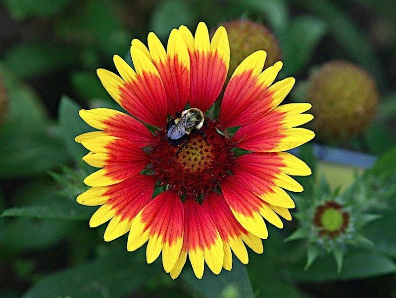 Bee in a Blanketflower