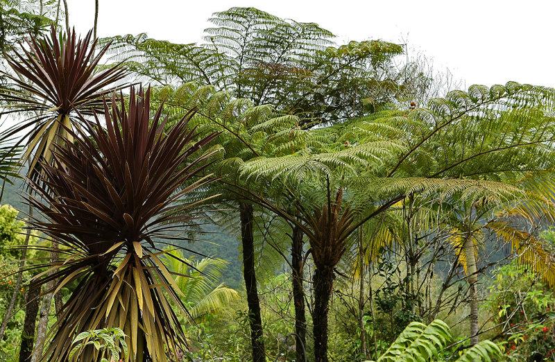 Fougères dAmazonie ? Non, sur lîle de la Réunion !