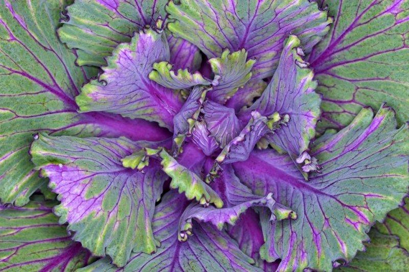 Wild cauliflower