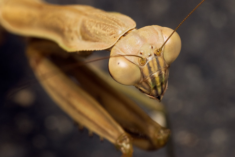 Praying mantis 5777 (V71)