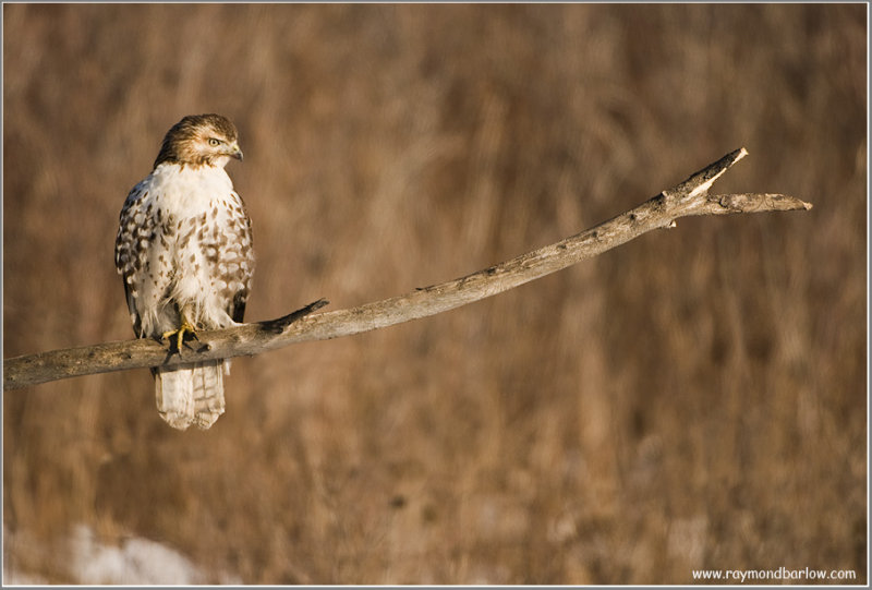 Red-tailed Hawk Hunting 221