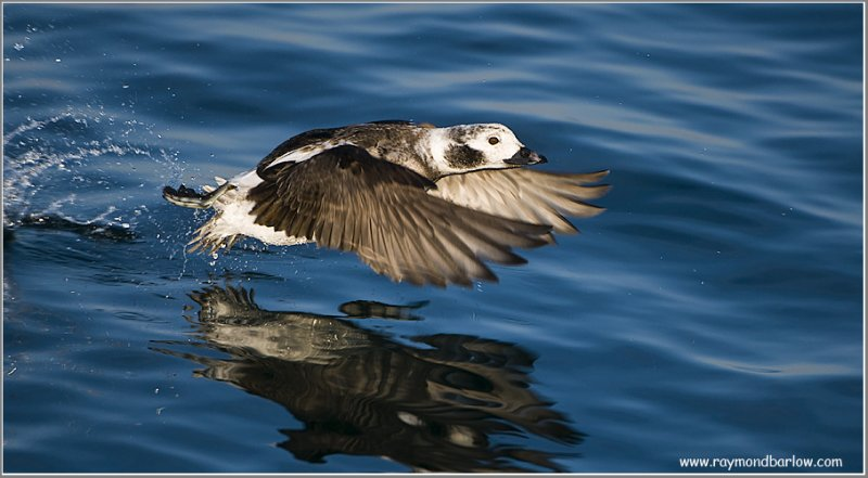 Long-tailed Duck Lift Off