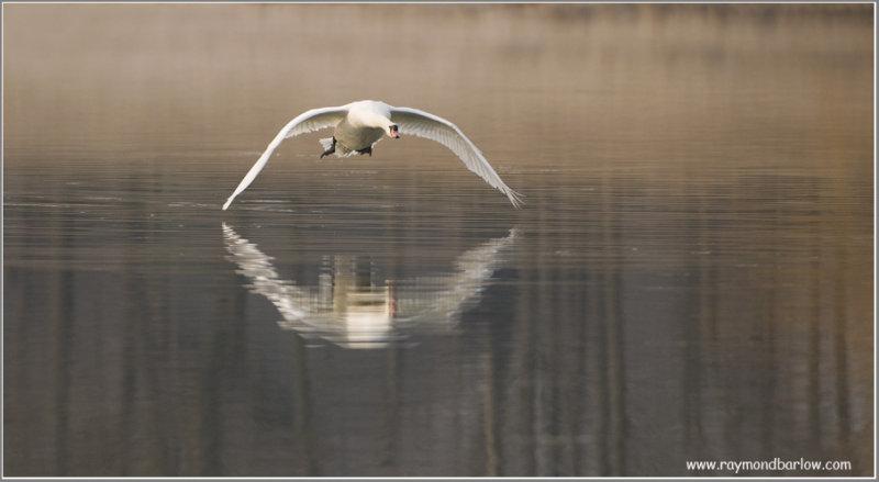 Mute Swan Attacking