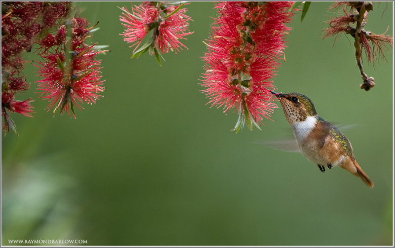 Scintillant Hummingbird in Flight