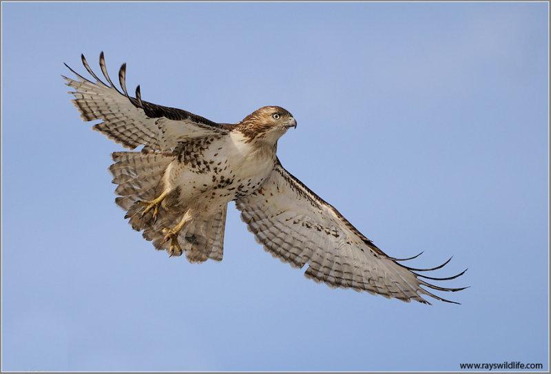 Red-tailed Hawk in Flight 153