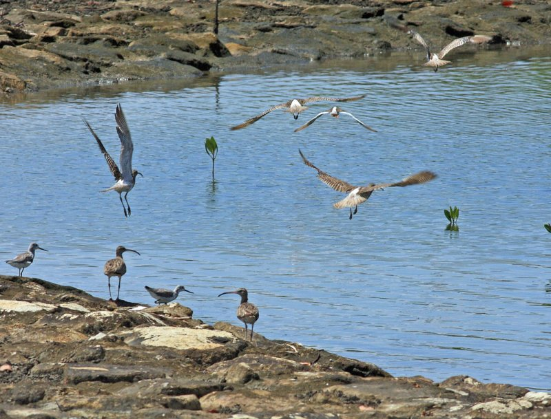 Whimbrel, Common Redshank and Common Sandpiper