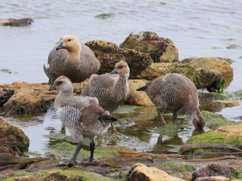 Upland Goose, female, and 10-week (?) chicks