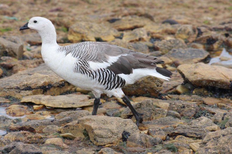 Upland Goose, male