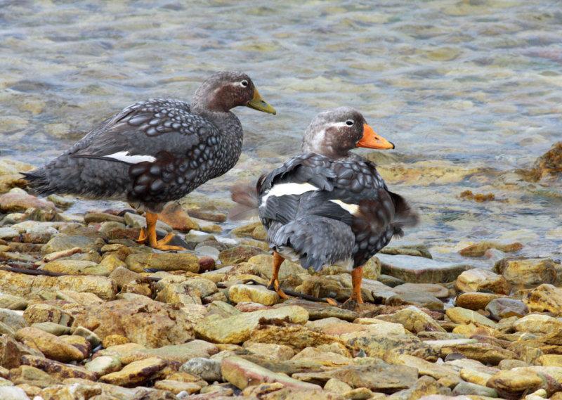 Falkland (Flightless) Steamer Duck, female (left) and male
