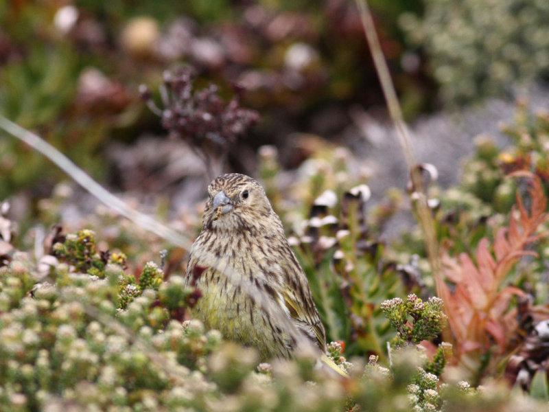 Black-throated Finch, female