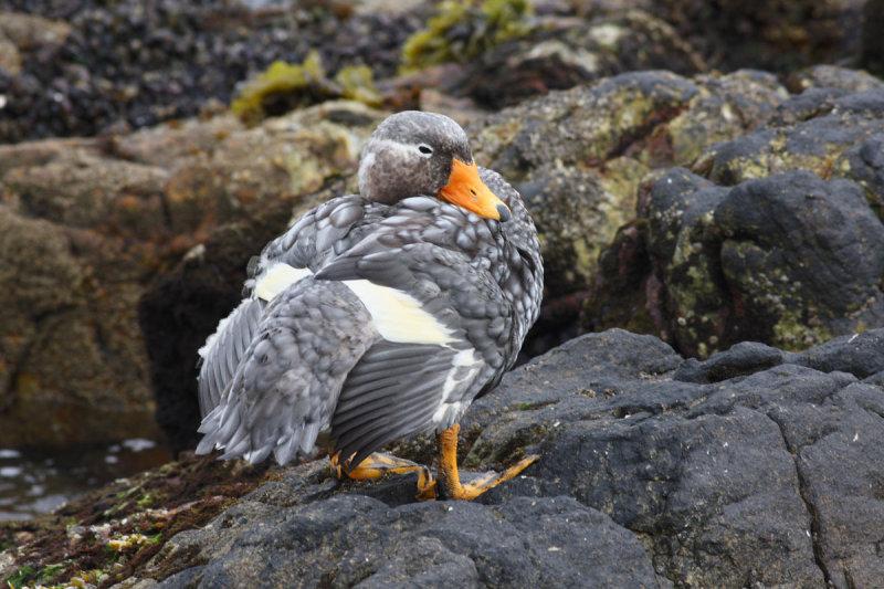 Falkland (Flightless) Steamer Duck, male