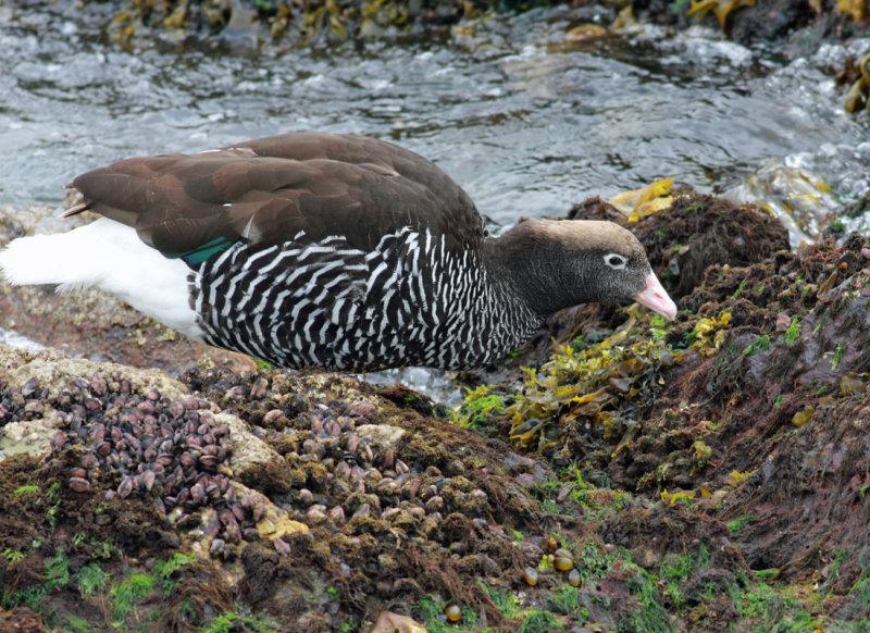 Kelp Goose, female