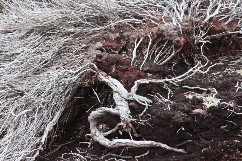 Falklands flora