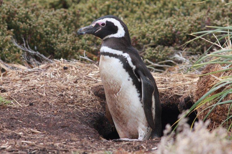 Magellanic Penguin at nest hole
