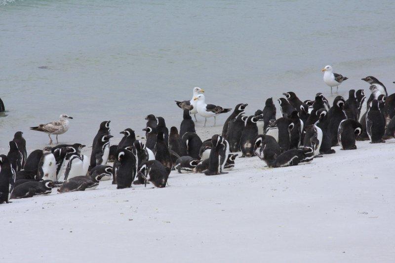Magellanic Penguins, non breeders & immatures