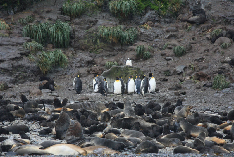King Penguins surrounded by Fur Seals