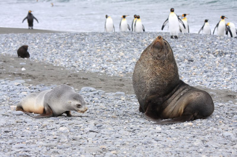 Bull and cow Fur Seals