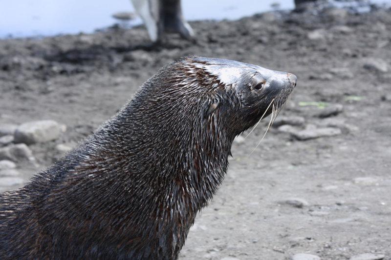 Wet-look Fur Seal