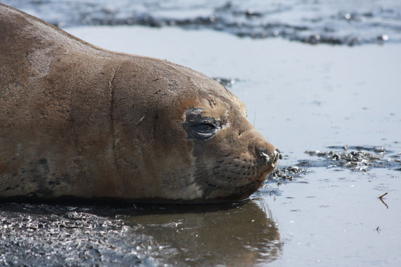 Southern Elephant Seal, female