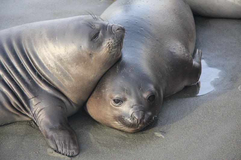 Southern Elephant Seals, young females?
