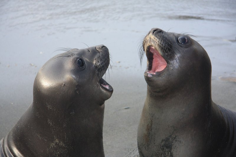Toothless Southern Elephant Seal pups